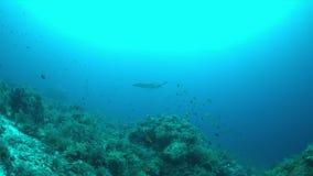 Manta ray on a coral reef 4k. Manta ray swims on a colorful coral reef. 4k footage stock footage