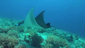 Manta ray on a coral reef 4k. Manta ray swims on a colorful coral reef. 4k footage stock video