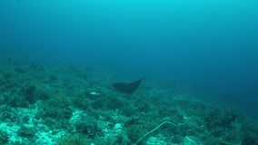 Manta ray on a coral reef 4k. Manta ray swims on a colorful coral reef. Some sharks swimming around 4k footage stock video footage