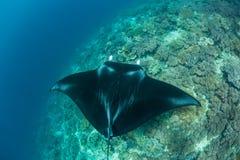Manta Ray and Coral Reef in Raja Ampat stock photo