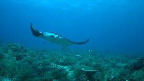 Manta ray on a coral reef Royalty Free Stock Image