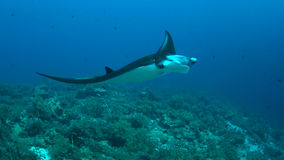 Manta ray on a coral reef Stock Photos