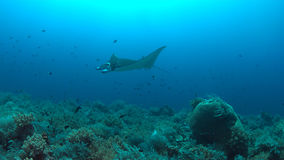 Manta ray on a coral reef Stock Photography