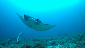 Manta ray on a coral reef. Manta ray swims on a coral reef stock photos
