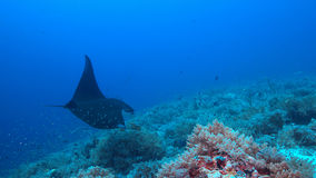 Manta ray on a coral reef Stock Image