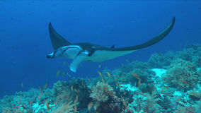 Manta ray on a coral reef. Manta ray swims on a colorful coral reef Royalty Free Stock Photos