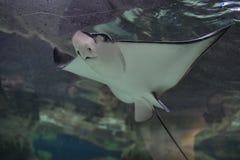 Manta Ray dans l'aquarium Image libre de droits