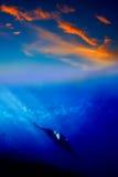 Manta Ray dans le coucher du soleil Images stock