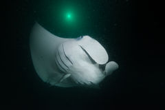 Manta ray in darkness. We seen him at night diving.nHe is too big,and swim nearby Royalty Free Stock Photos