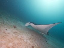 Manta Ray de récif Photos libres de droits