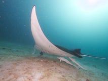 Manta Ray de récif Image libre de droits