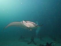 Manta Ray de récif Photographie stock libre de droits