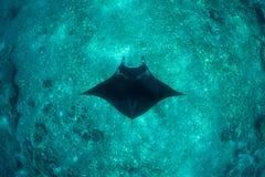 Manta Ray and Deep Reef Royalty Free Stock Image