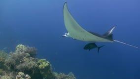 Manta Ray die in blauwe Oceaan zwemmen Overzees Marine Life stock footage