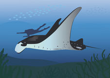 Manta ray and diver Stock Images