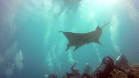 Manta ray and divers relax in sun underwater in ocean Maldives. Sea dweller in search of food. Stingray feeds on mollusks and small fish. Amazing and exciting stock footage