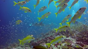 Manta ray and divers relax underwater in striped snapper school fish in ocean. Sea dweller in search of food. Stingray feeds on mollusks and small fish. Diving stock footage