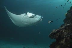 Manta Ray do recife fotografia de stock royalty free