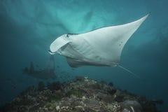 Manta Ray do recife imagem de stock