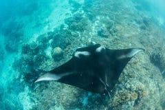 Manta Ray en Coral Reef Royalty-vrije Stock Afbeeldingen