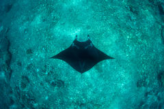 Manta Ray et récif profond Image libre de droits