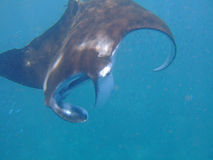 Manta ray feeding on plankton Stock Photos