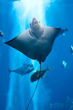 Manta ray floating underwater. Among other fish Royalty Free Stock Photo