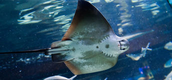 Manta ray floating underwater Stock Images