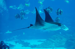 Manta ray floating underwater stock image