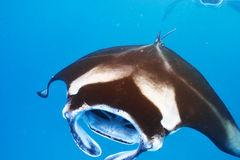 Manta ray floating underwater Royalty Free Stock Photography