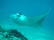 Manta ray flyby. Maldives, Indian Ocean stock photography