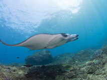 Manta ray is flying. At Bali in Indonesia Stock Photos
