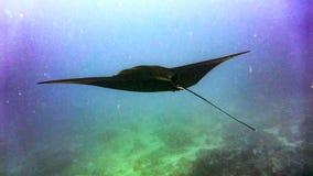 Manta ray flying over the reef, Maldives. royalty free stock photo