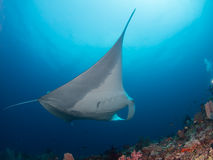 Manta ray is flying. At Raja Ampat in Indonesia Stock Photos