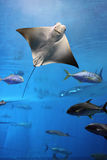 Manta ray flying into a swarm of other fish