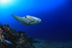 Manta ray. Giant manta ray floating underwater in the tropical ocean Stock Image