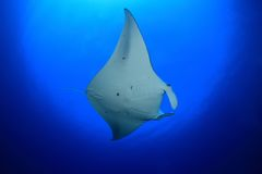 Manta ray. Giant manta ray floating underwater in the tropical ocean Stock Images