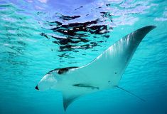 Manta Ray. A giant Manta Ray swimming under the water surface, the sun shining on him stock photography