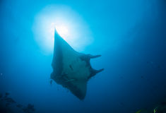 A manta ray gliding in blue water. A giant oceanic manta ray gliding overhead through clean blue water with a sunburst just above it Stock Photo