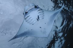 Manta Ray Gliding over Clear Waters of Bali royalty free stock photography