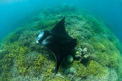 Manta Ray Hovering Over Cleaning Station. A Manta ray, Manta alfredi, swims over a shallow cleaning station near the island of Yap in Micronesia. Mantas are Royalty Free Stock Photos