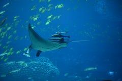 Manta Ray i akvarium Royaltyfri Foto
