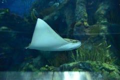 Manta Ray i akvarium Arkivbild