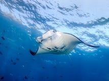 Manta Ray i blått vatten Arkivbild