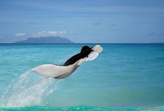 Manta is flying above paradise sea. Royalty Free Stock Photography