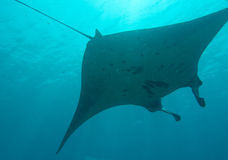 Manta ray in Komodo national park, Indonesia Stock Images