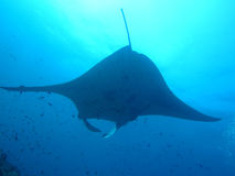 Manta ray of maldive. In the ocean stock images