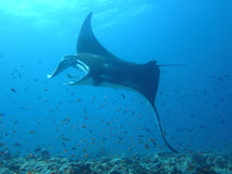 Manta ray of maldive royalty free stock photography