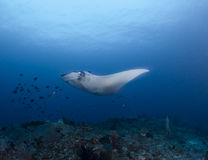 Manta ray at maldives. Beautiful manta ray Royalty Free Stock Photo