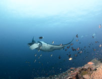Manta ray at maldives. Beautiful manta ray Royalty Free Stock Photos